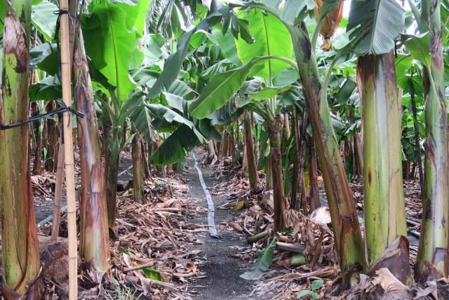 台灣香蕉科技園區 (11)