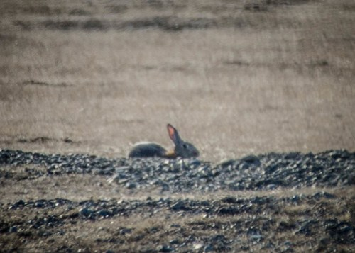Wild Rabbits on San Juan Island
