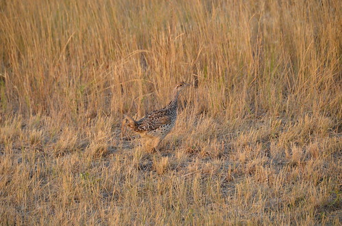Grasslands East block ptarmigan
