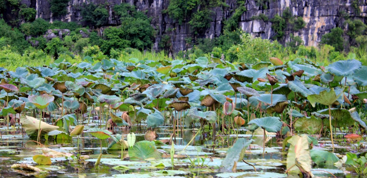 lotus forests of tam coc