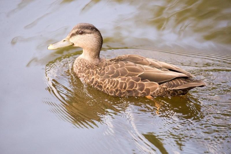 _DSC8935 American Black Duck