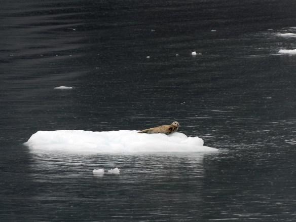 Seal on an Iceberg