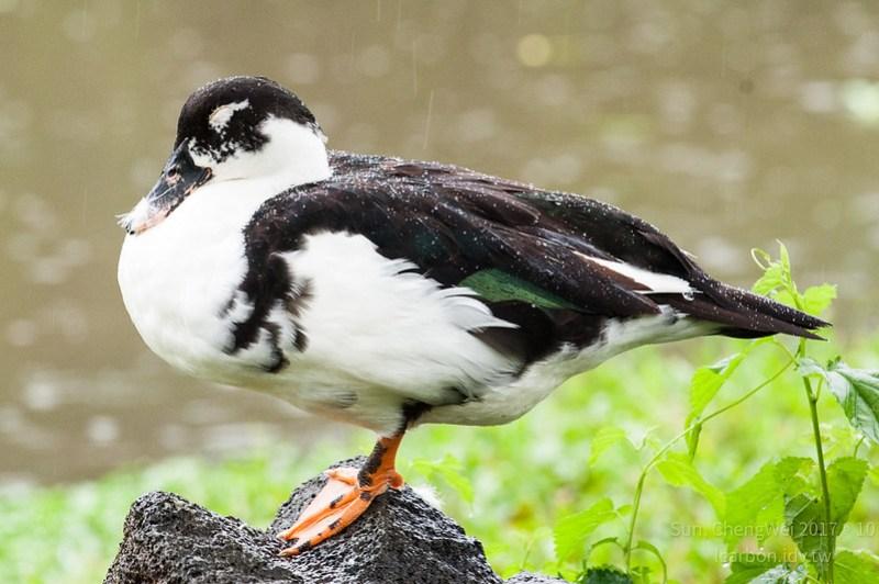 雨中安森-睡著的鴨