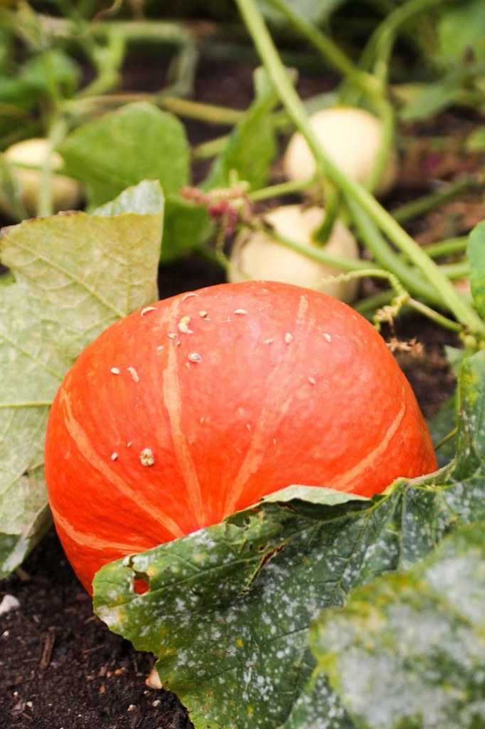 An orange pumpkin in the vegetables garden at Kew Gardens, London