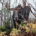 Orignal (mâle) - Moose