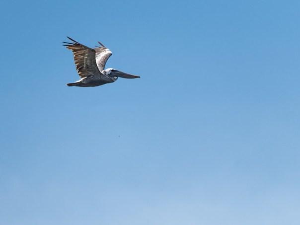 One Pelican