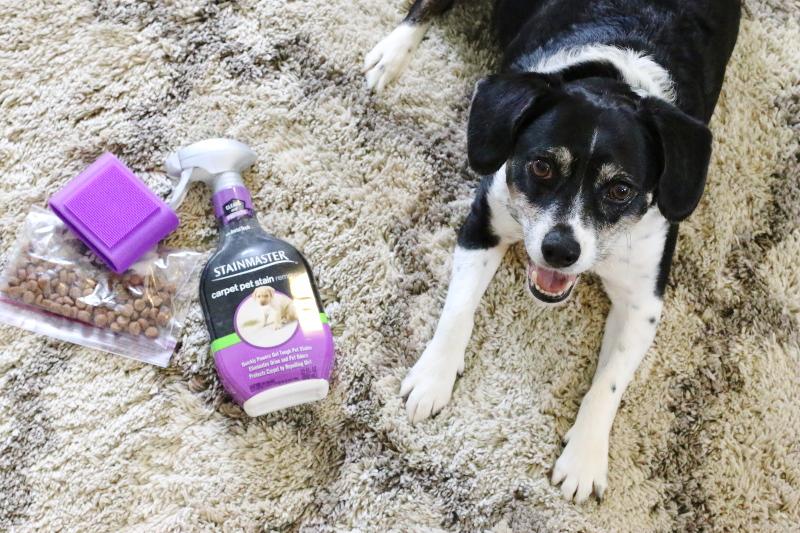 louis-the-beagle-dog-stainmaster-carpet-treats-brush-2