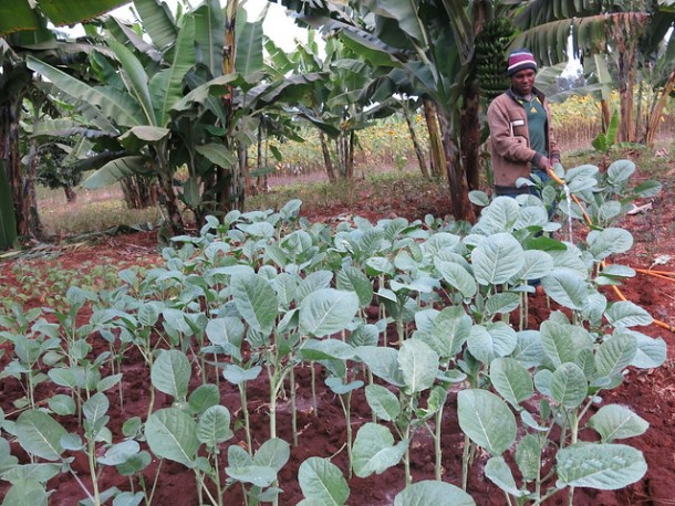 Tanzania farmers embrace vegetable farming to access more