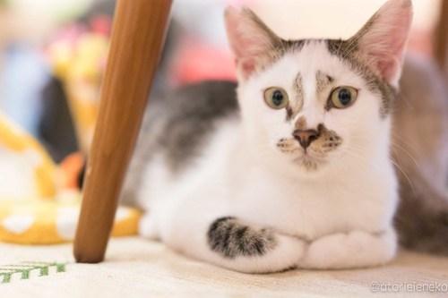 アトリエイエネコ Cat Photographer 36841084544_5af1568606 1日1猫!高槻ねこのおうち  え!タラちゃん?なムーンちゃん♫ 1日1猫!  高槻ねこのおうち 里親様募集中 里親募集 猫写真 猫カフェ 猫 子猫 大阪 写真 保護猫 スマホ カメラ Kitten Cute cat