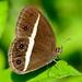 Medus Brown (Orsotriaena medus mandata)