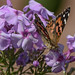 Painted Lady in Transit
