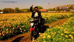 Riding into field of Marigold flowers