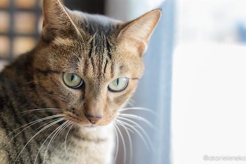 アトリエイエネコ Cat Photographer 24184804158_3e6ff672fc 猫café calm