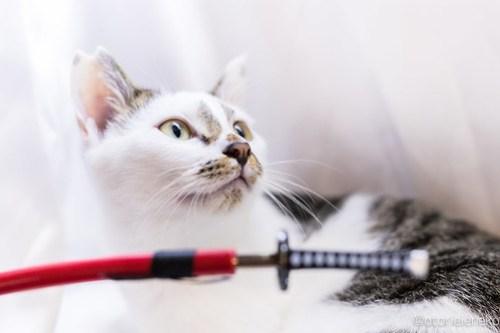 アトリエイエネコ Cat Photographer 37452096034_89e72a982c 心から好きだと思う物 里親募集のための写真術  猫写真 猫 子猫 大阪 写真 保護猫 スマホ カメラ Kitten Cute cat