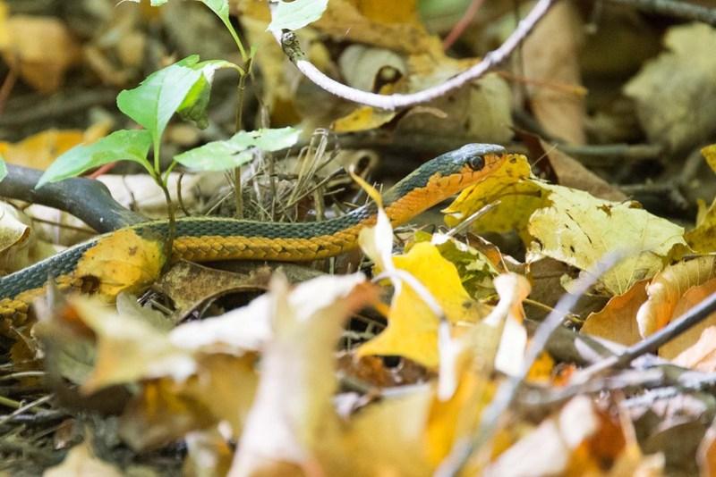 _DSC1219 Garter Snake