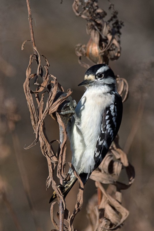 _8500699 Downy Woodpecker