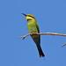Rainbow Bee-eater  Merops ornatus