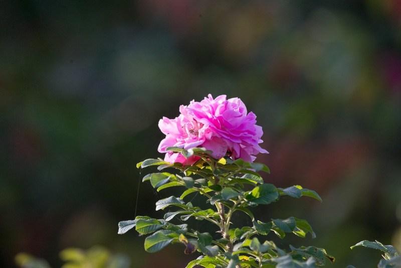 _DSC9949 Pink