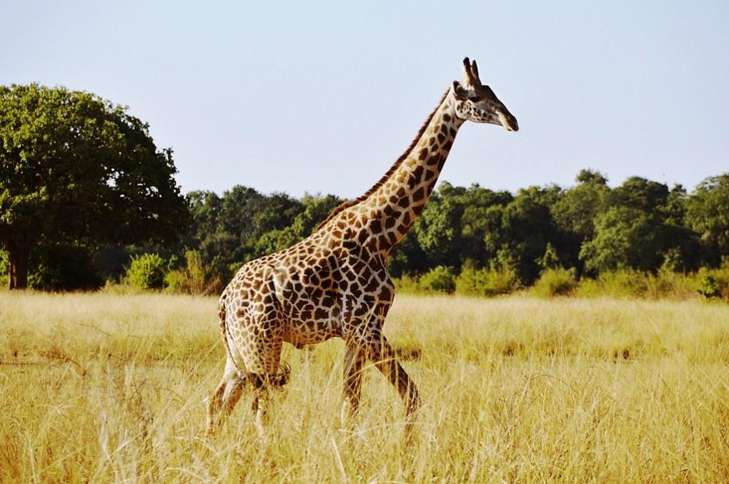 safari7