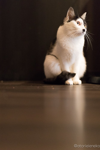アトリエイエネコ Cat Photographer 24184808348_5bf4ff3c60 猫café calm