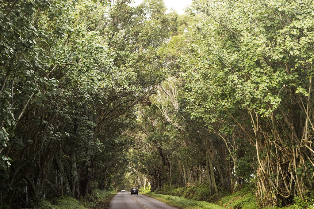 mile-long eucalyptus tree tunnel