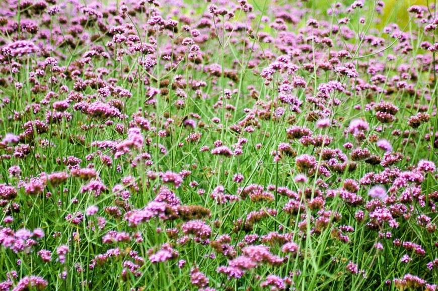 A field of purple flowers at Kew Gardens, London