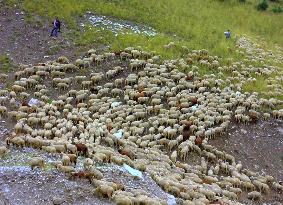 Gujjars herding sheep