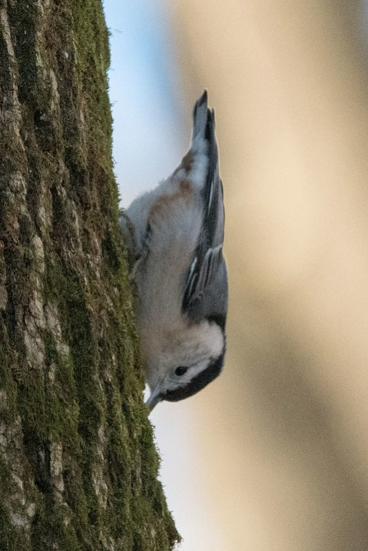 _8500968 White-breasted Nuthatch