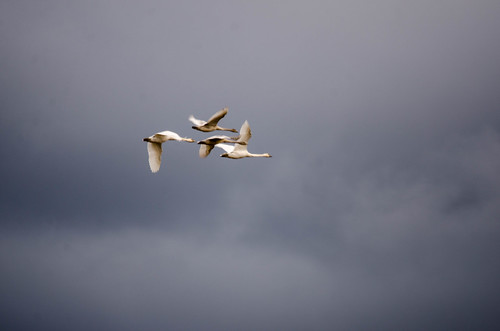 Skagit Valley Birds-12