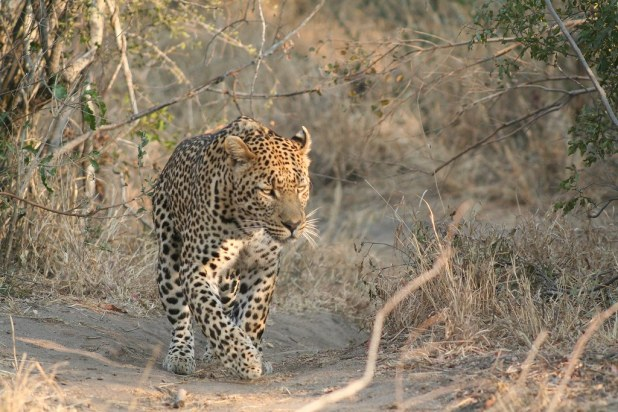 Leopardo en Sudáfrica