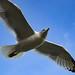 European herring gull (Silbermöve), Cornwall