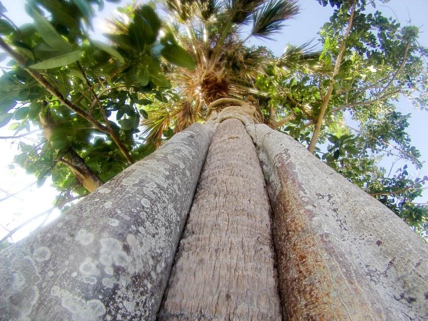 A Strangler Fig Wrapped Around a Palm Tree, Flamingo, Everglades National Park, Nov. 25, 2017.
