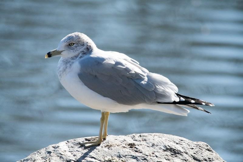 _8501005 Ring-billed Gull