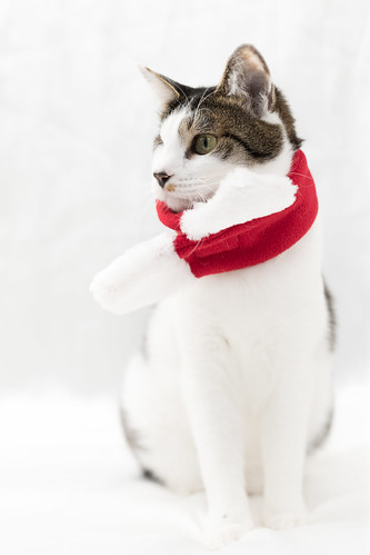 アトリエイエネコ Cat Photographer 27196725999_08bf0c870f 1日1猫!保護猫カフェねこんチ 1日1猫!  猫 保護猫カフェねこんチ 保護猫 cat
