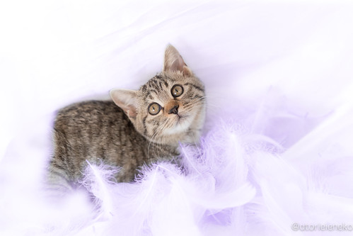 アトリエイエネコ Cat Photographer 38795870321_6617a03080 1日1猫! おおさかねこ倶楽部 ワカメちゃんのトライアルが決まりました♬ 1日1猫!  里親様募集中 猫写真 猫 子猫 大阪 写真 保護猫 ニャンとぴあ スマホ カメラ おおさかねこ倶楽部 Kitten Cute cat