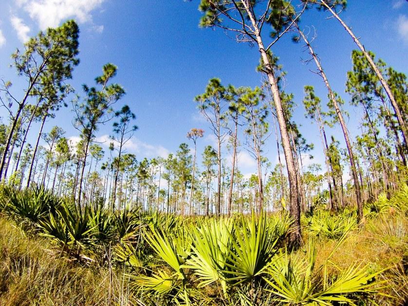 Long Pine Key, Everglades National Park, Nov. 25, 2017