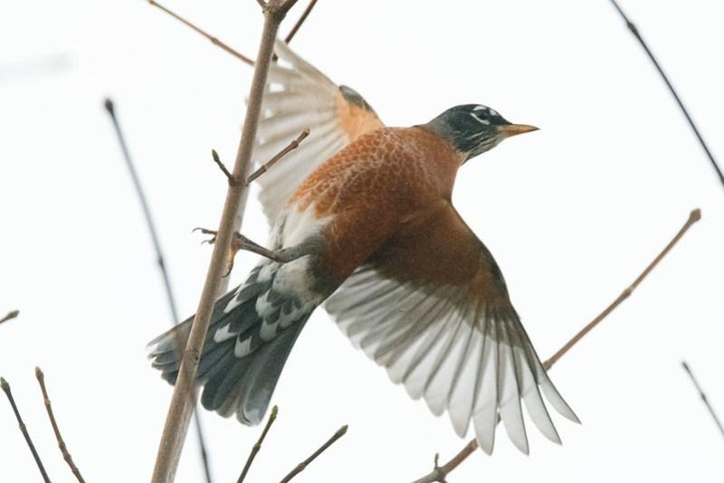 _8500492 American Robin