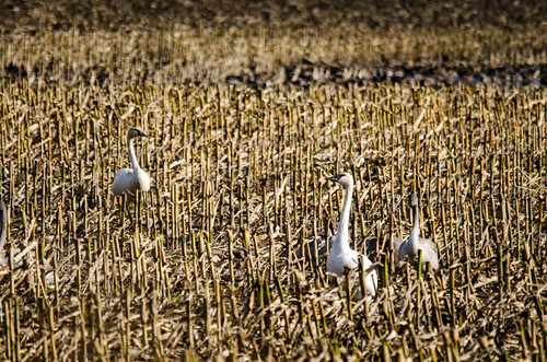 Skagit Valley Birds-16