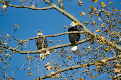 Skagit Valley Birds-29