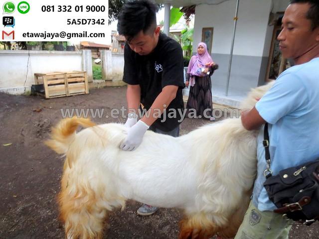 pemeriksaan kambing etawa oleh dokter hewan gudang garam