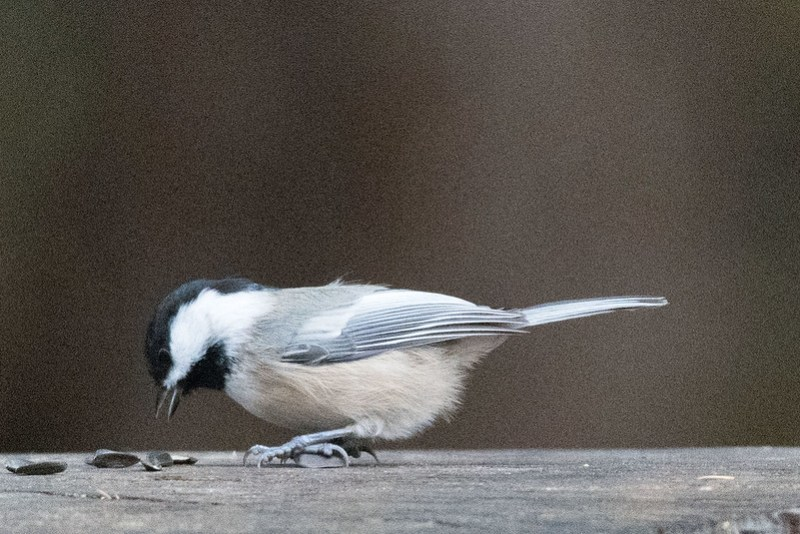 _8501050 Black-capped Chickadee
