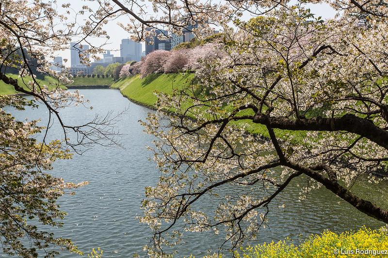 Sakura-Chidori-ga-Fuchi-Palacio-Imperial-18