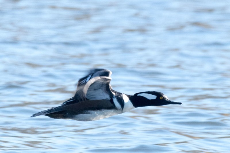 _8501022 Hooded Merganser