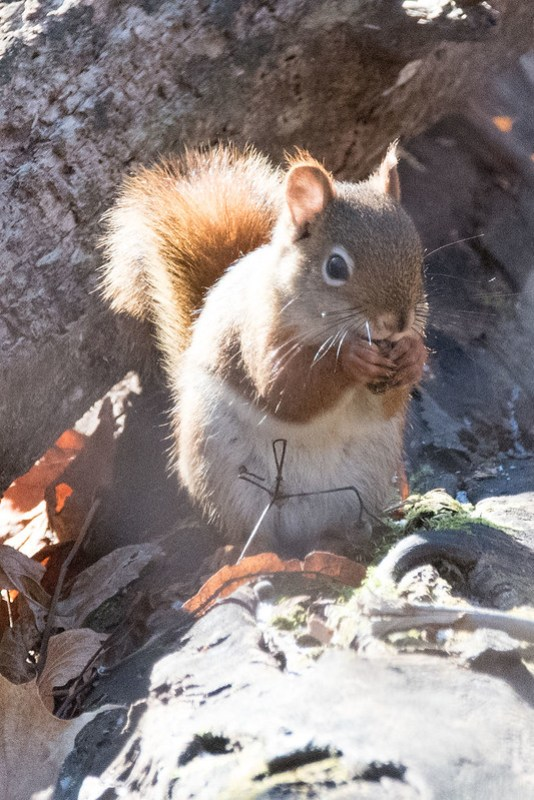 _8500974 Red Squirrel