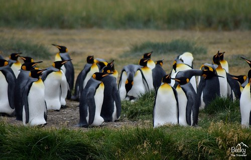 King Penguins - Chile (8) (1280x818)