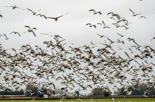 Migrating Snow Geese-13