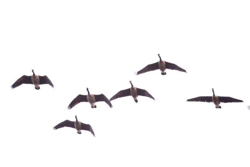 _6101714 Canada Goose