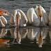 IMG_7346 Pelicans feeding