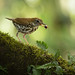 Wood Thrush (Hylocichla mustelina) with beetle
