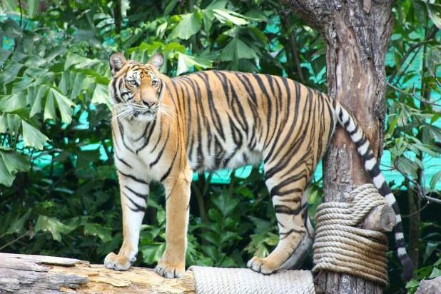 Tigres en Tailandia